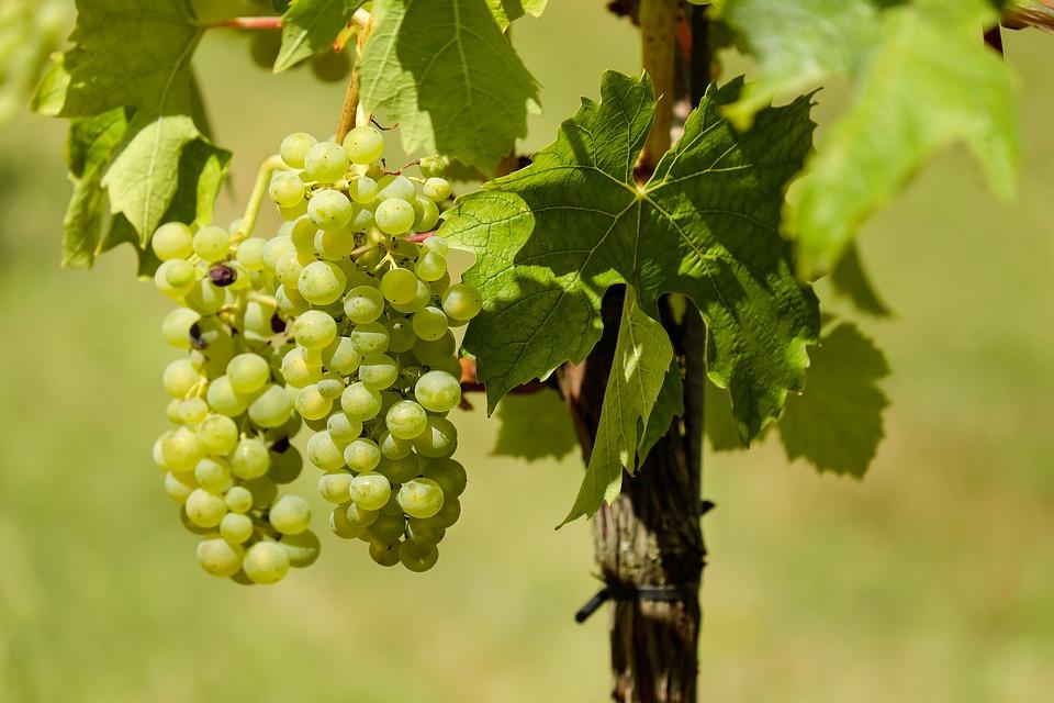 pomorie wines